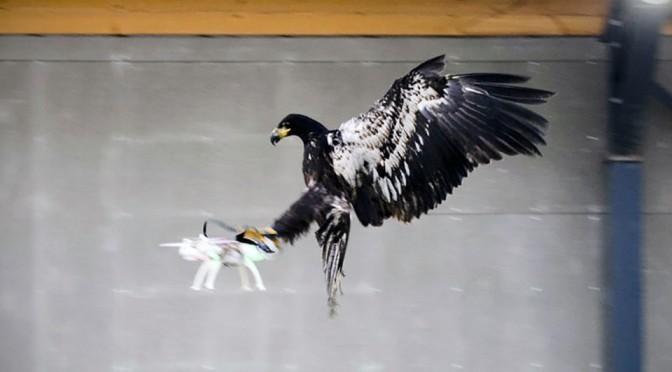Dutch Police Drone-hunting Eagles