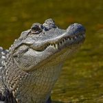 Surprise! Alligator Is Not The Number One Man-killer In The U.S.